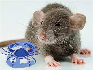 Рак-Крыса характеристика