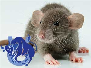 Телец-Крыса характеристика