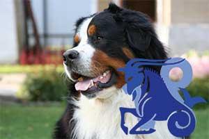 Козерог-Собака характеристика