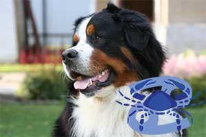 Рак-Собака характеристика