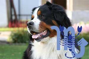 Скорпион-Собака характеристика