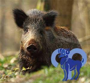 Овен-Свинья (Кабан) характеристика