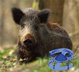 Рак-Свинья(Кабан) характеристика