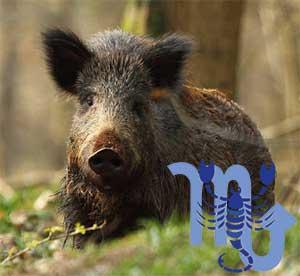 Скорпион-Свинья(Кабан) характеристика
