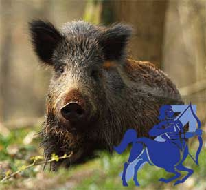 Стрелец-Свинья(Кабан) характеристика