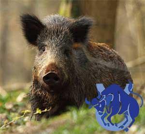 Телец-Свинья(Кабан) характеристика