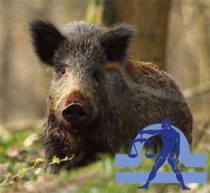 Весы-Свинья(Кабан) характеристика
