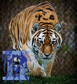 Близнецы-Тигр характеристика