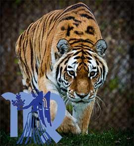 Дева-Тигр характеристика