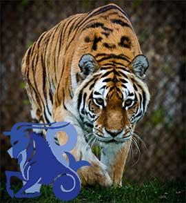 Козерог-Тигр характеристика