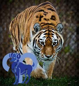 Овен-Тигр характеристика