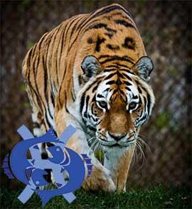 Рыбы-Тигр характеристика