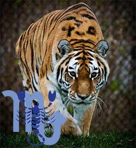 Скорпион-Тигр характеристика