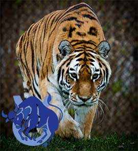 Телец-Тигр характеристика