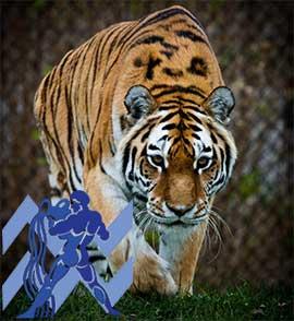 Водолей-Тигр характеристика